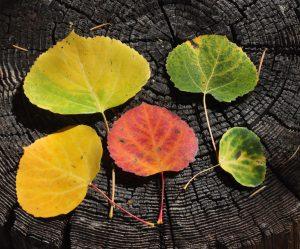 populus-tremuloides-lf-fall1-set