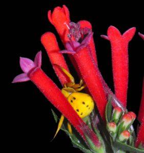 yellow-spider