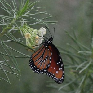 queen-butterfly-and-milkweed