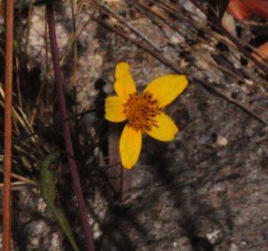 bur-marigold