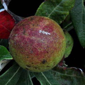 Quercus hypoleucoidesGall2
