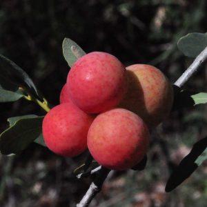 Quercus oblongifolia Galls