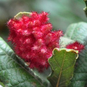 Quercus rugosa gall
