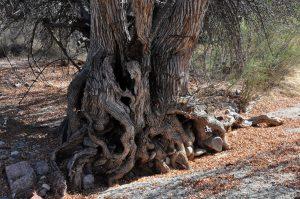 Ash tree base