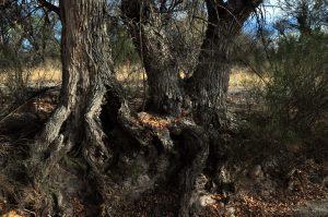 Ash tree bases
